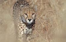 Cheetah Walking through the Grass, Sabi Sands, South Africa