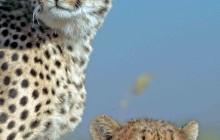 lr cheetah 9