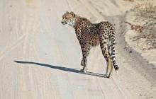 lr cheetah on road