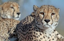 lr cheetahs