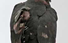 lr crowned eagle 2