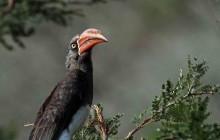 lr crowned hornbill