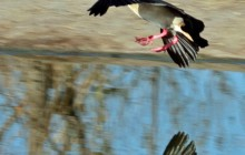 lr egyptian geese