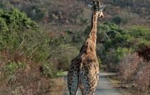 lr giraffe on road