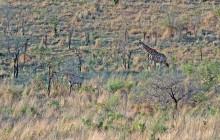 lr giraffes on hillside