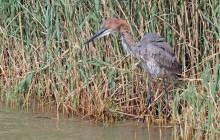 lr goliath stork