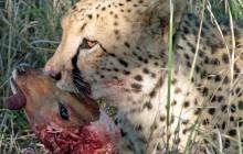 lr gross cheetah eating nyala head