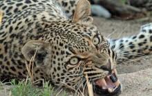 lr leopard snarl