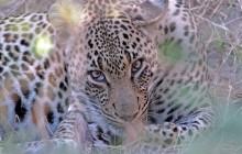 lr leopard through grass