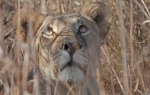 lr lion
