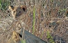 lr lion cubs