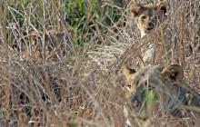 lr lion cubs with mum
