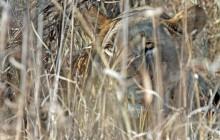 lr lioness hiding