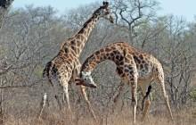 lr male giraffes fighting