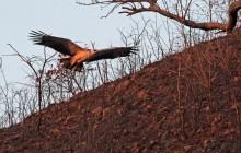 lr martial eagle flying 1
