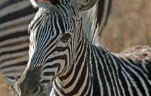 lr mohawk zebra