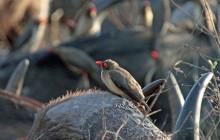 lr redbill oxpecker