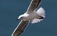 lr seagull