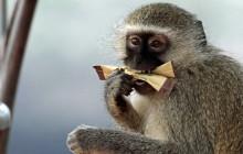 lr vervet monkey