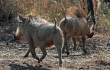 lr warthogs