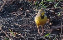 lr  yellow bird on ground 1