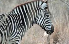 lr  zebra beard