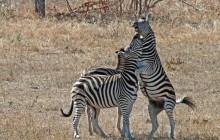 lr zebras fighting