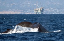 lr humpback mother and calf and oilrig 1