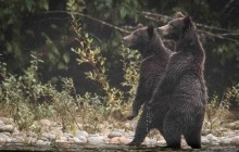 Grizzly cubs standing to view threat