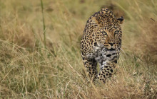 Leopard walking through the grass at Masai Mara in Kenya
