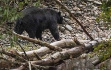 Black bear at Port Hardy Nature Trail