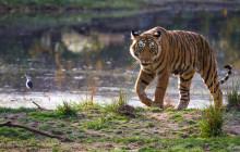 Young Tiger at Rathambore National Park