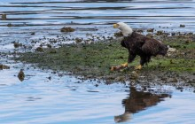 Bald eagle with fish in Port Hardy