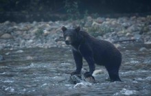 Young Cub looking for salmon at dusk