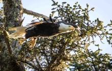 flying baldeagle