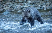 Grizzly fishing for salmon
