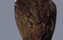 osprey face