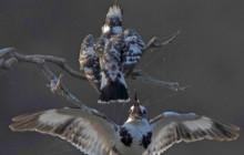 pied kingfishers 3
