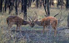 spotted deer fighting