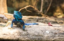 blue headed agoma lizard Uganda 2016-14