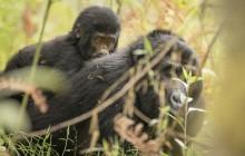 lr Baby gorilla Uganda 2016-43