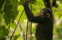 lr Chimp 1 Uganda 2016