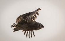 lr Eagle owl Uganda 2016 66