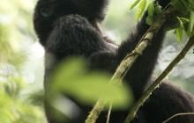 lr Gorilla in tree Uganda 2016-49