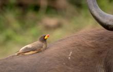 lr Oxpecker Uganda 2016 62