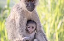 lr Vervet monkey Uganda 2016-32