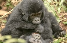 lr baby gorillas Uganda 2016-48