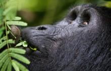 lr best gorilla Uganda 2016-54