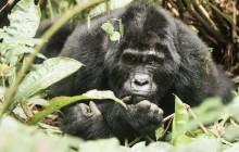 lr blind gorilla Uganda 2016-47