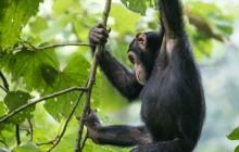lr chimp 2 Uganda 2016